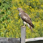 Hawk, Pikeland Road, Melinda Mercurio